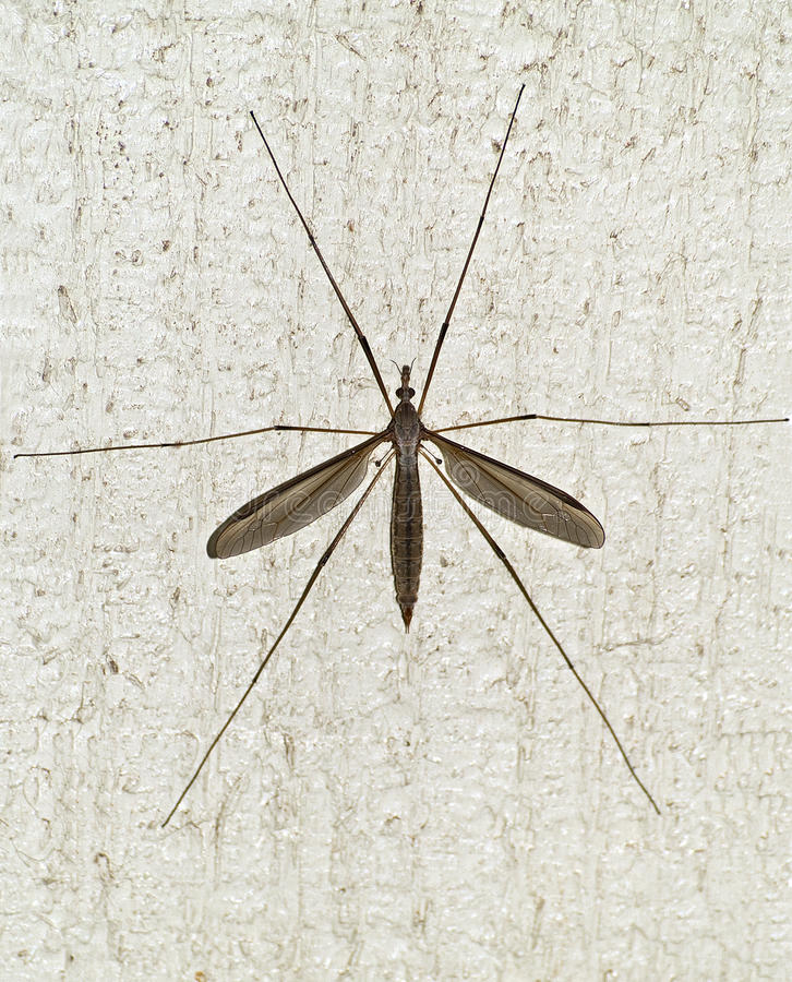 Download Mosquito hawk stock image. Image of wings, mosquito, wall - 14627007