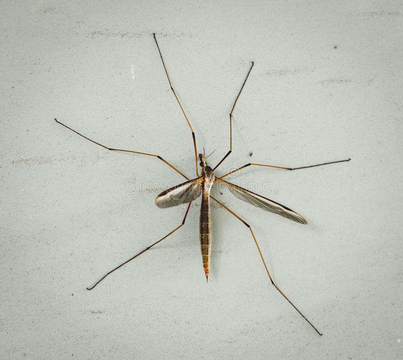 Mosquito Hawk on a wall stock images