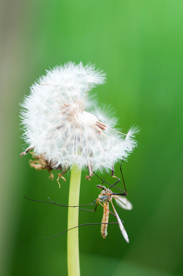 Mosquito insect perched on a dandelion royalty free stock photography