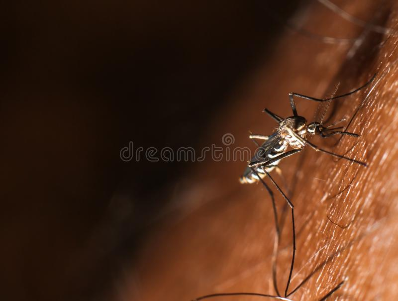 Mosquito insect sucking human blood. Blood human insect mosquito sucking mosquitoes medical anopheles animal sting eating nature nuisance insects summer macro stock photography