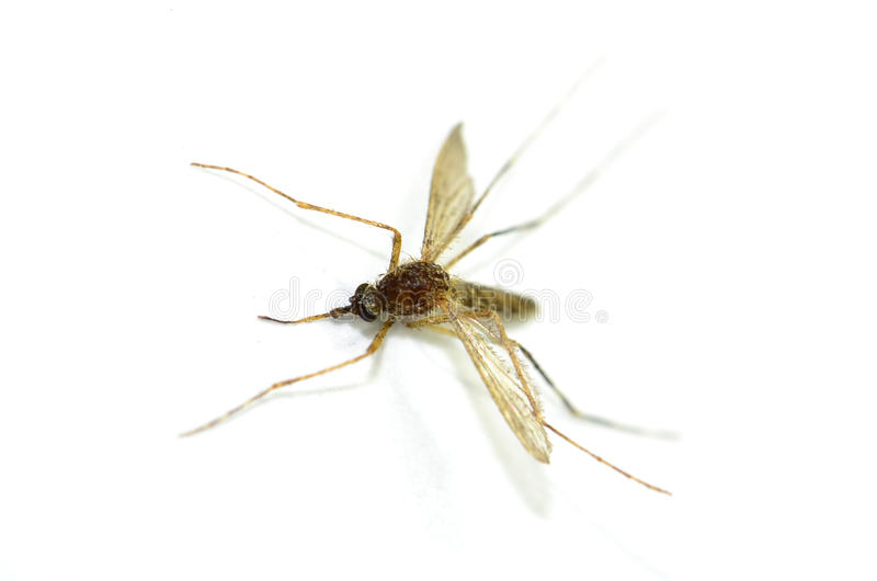 Mosquito isolated on white background, Zika Virus. Macro close-up, top view of brown mosquito stock photos