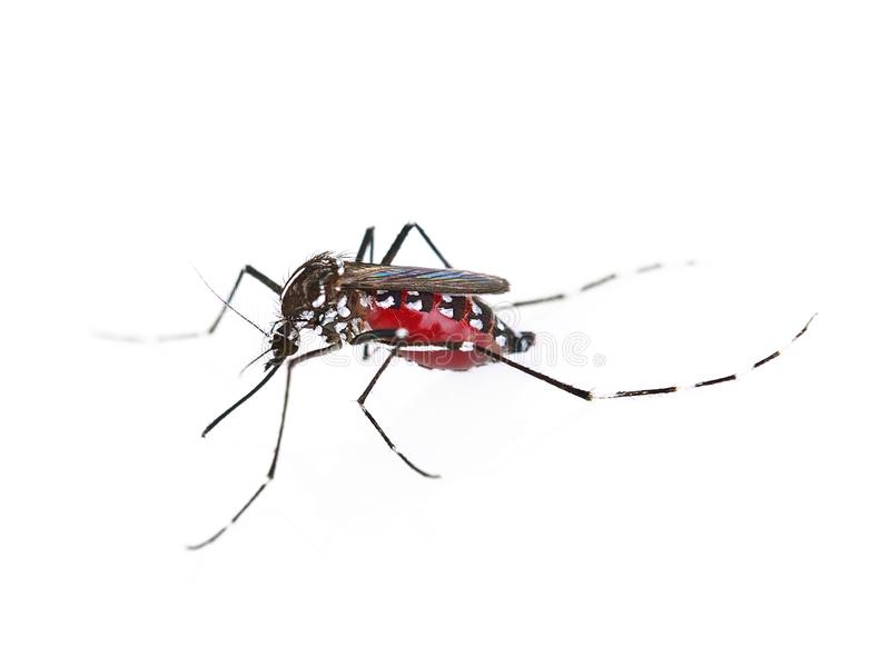 Mosquito isolated on white background royalty free stock images