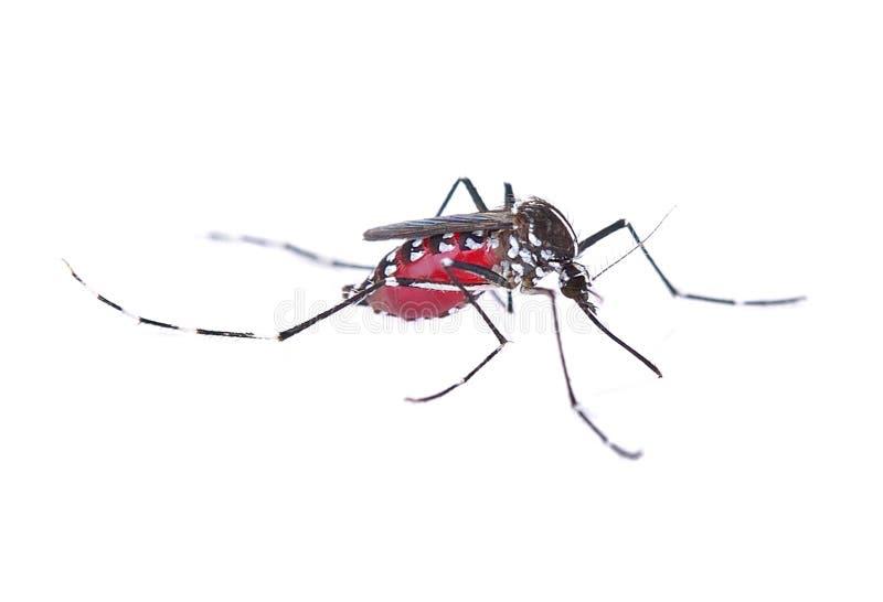 Mosquito isolated on white background stock photos