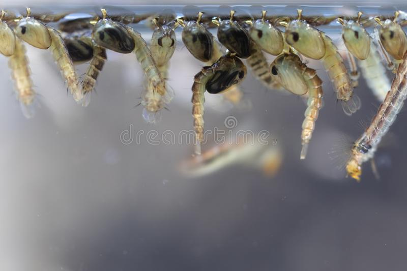 Mosquito Larva in the order Diptera, Anopheles sp. Mosquito Larva in the water for education royalty free stock image