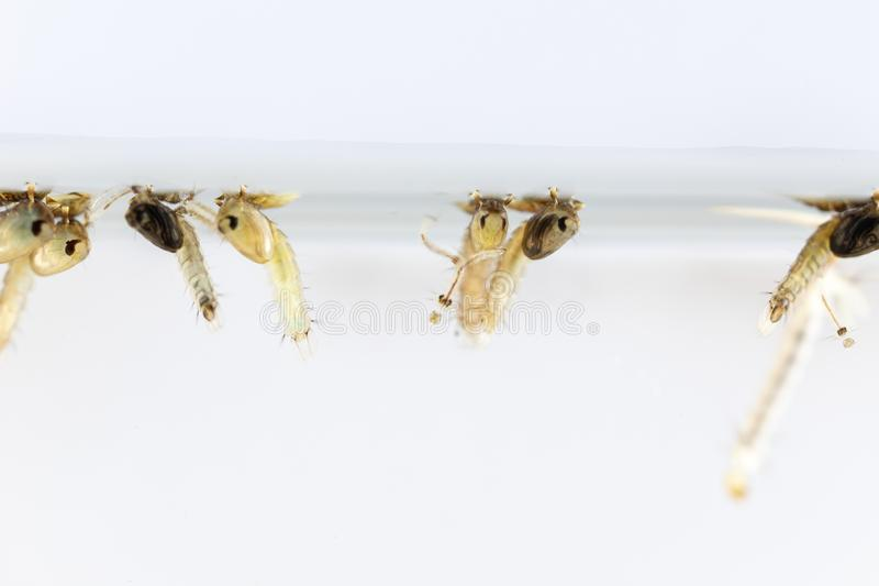 Mosquito Larva in the order Diptera, Anopheles sp. Mosquito Larva in the water for education stock images