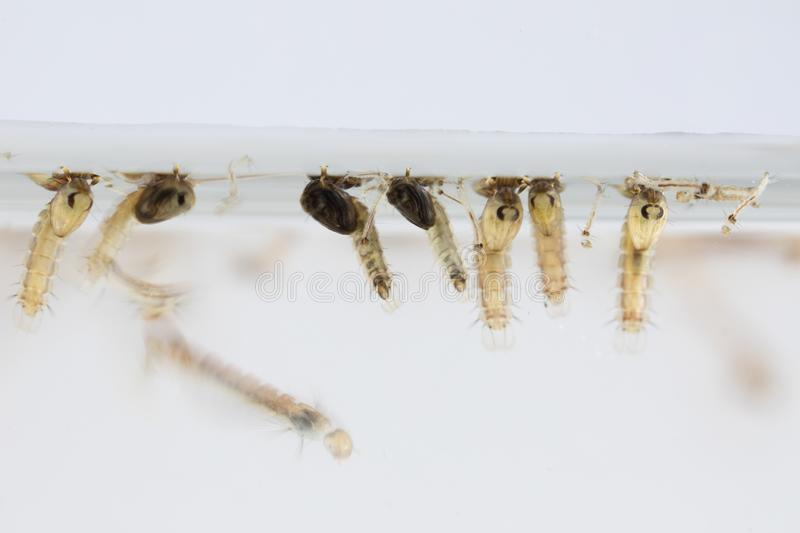 Mosquito Larva in the order Diptera, Anopheles sp. Mosquito Larva in the water for education stock image