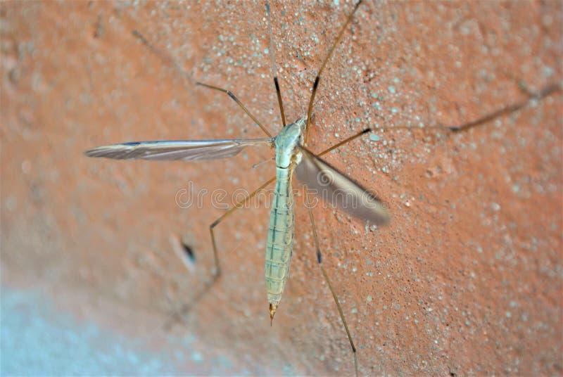 Mosquito macro de la fotografía de los insectos de la naturaleza fotografía de archivo