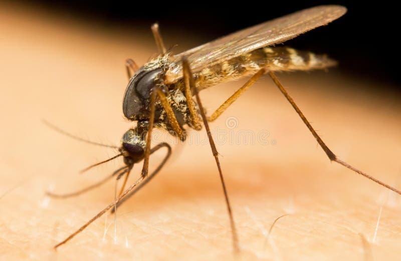 Mosquito Stock Photo - Image: 66241082 Mosquito - 웹