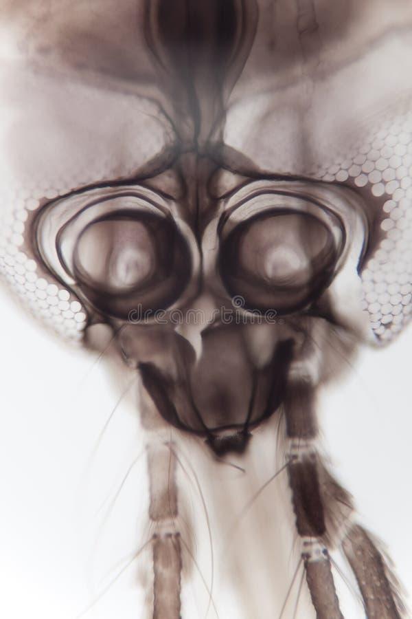 Mosquito magnificado imagenes de archivo
