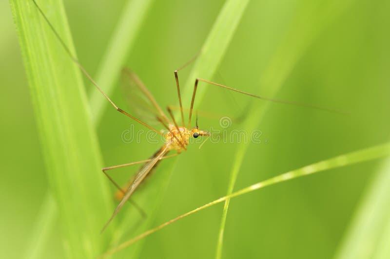 Mosquito masculino imagen de archivo