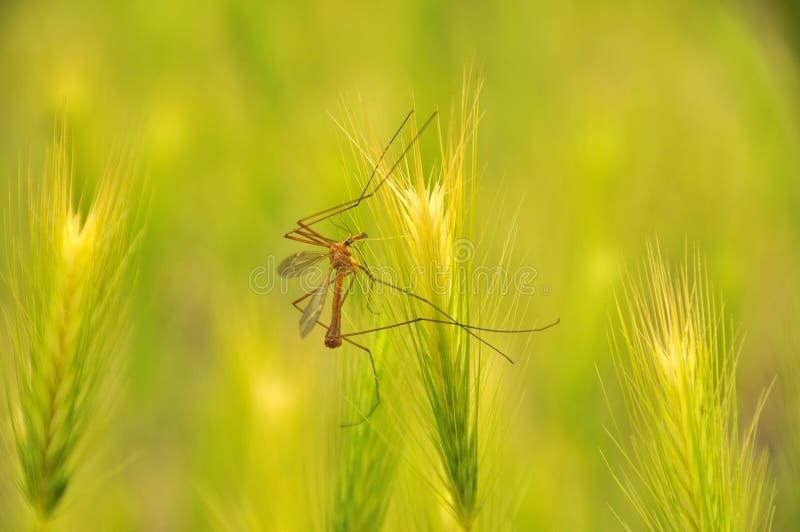 Mosquito masculino fotografia de stock royalty free