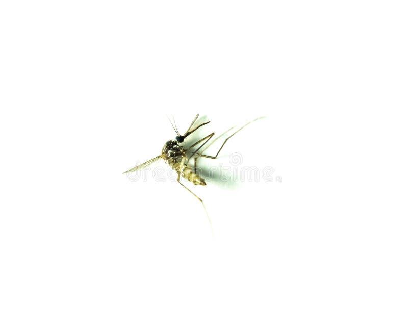 Mosquito muerto aislado en el fondo blanco imagen de archivo libre de regalías
