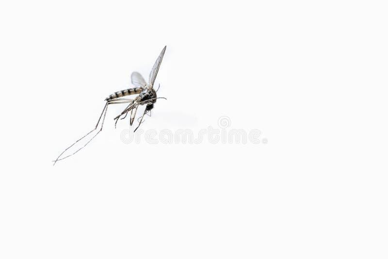 Mosquito muerto del tigre del primer aislado en el fondo blanco imagen de archivo