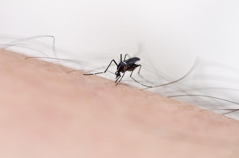 Mosquito na natureza fotos de stock royalty free