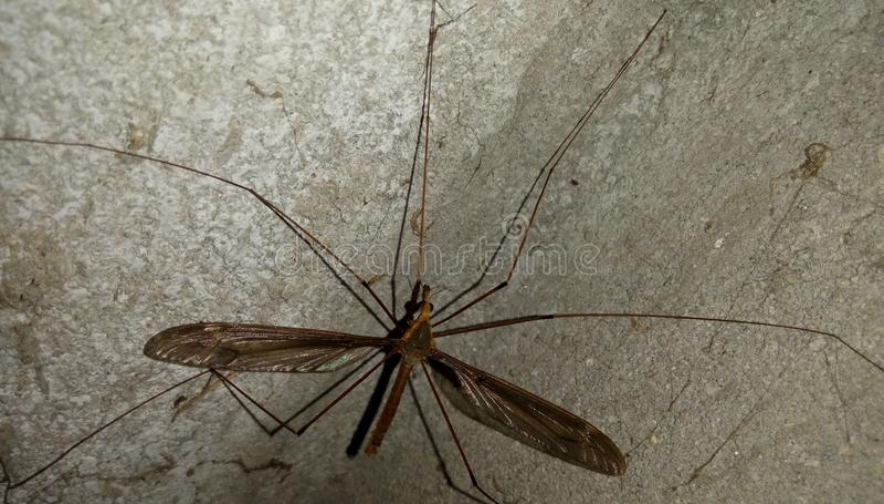 Mosquito negro en pared del tha fotos de archivo
