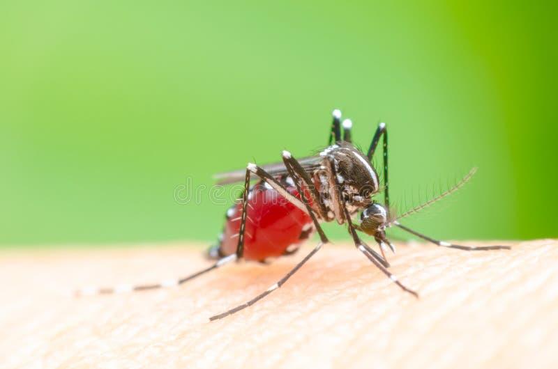 Mosquito no ser humano da pele fotos de stock