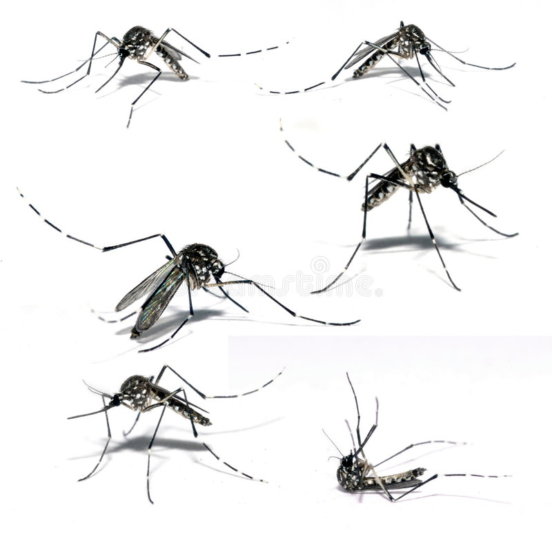 Free Mosquito Of Dengue Stock Photography - 5010152
