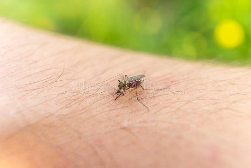 Mosquito penetrante foto de archivo libre de regalías