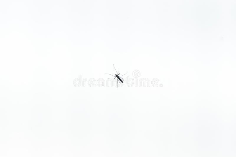 Mosquito pequeno vista da parte inferior no branco imagem de stock royalty free