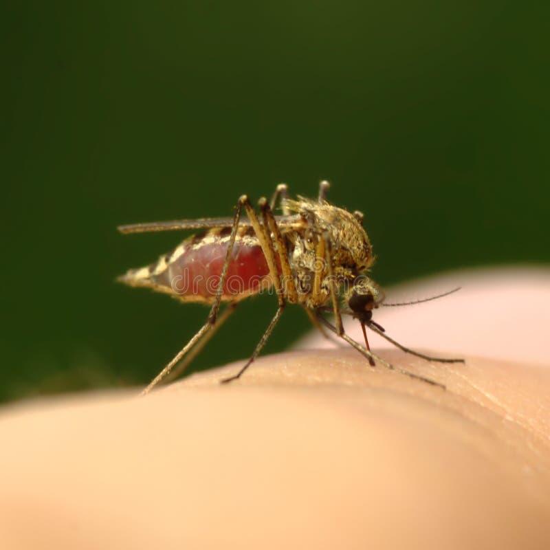 Mosquito por completo de la sangre fotografía de archivo libre de regalías