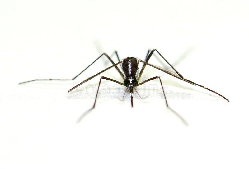 Mosquito que lleva del virus aislado en el fondo blanco imágenes de archivo libres de regalías