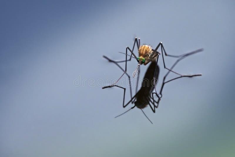Mosquito septentrional de la casa y x28; Pipiens& x29 del mosquito; con la reflexión en el b fotografía de archivo libre de regalías