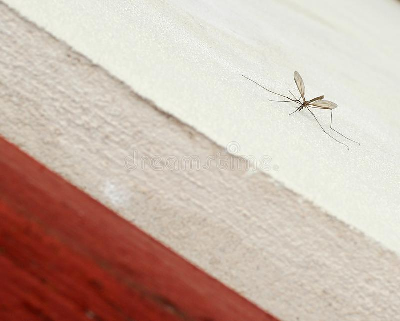 Mosquito sitting on white wall royalty free stock image