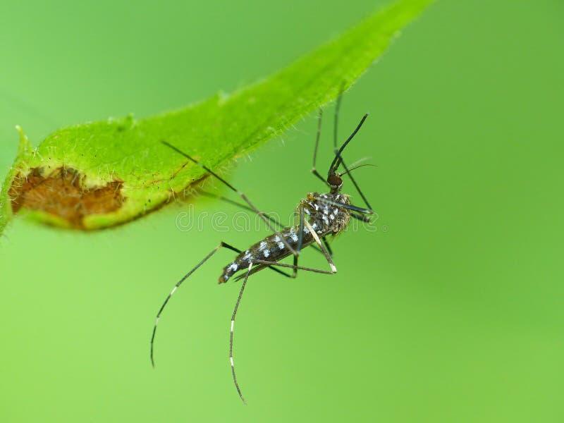 Mosquito sob uma folha fotografia de stock royalty free