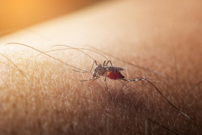 Mosquito sucked blood on human skin. flu and fever dengue stock photo