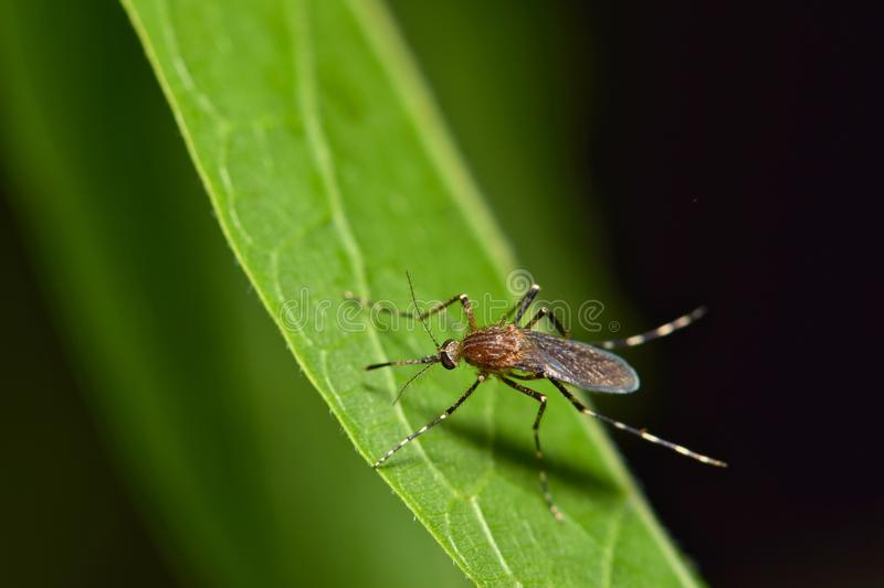 Mosquito on a tree leaf at night. A mosquito in the Culicidae family resting on a green leaf during the night hours in Houston, TX. These are most prolific royalty free stock photography