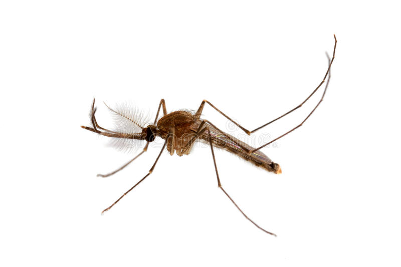 Mosquito in white background. Aedes cullins royalty free stock photos