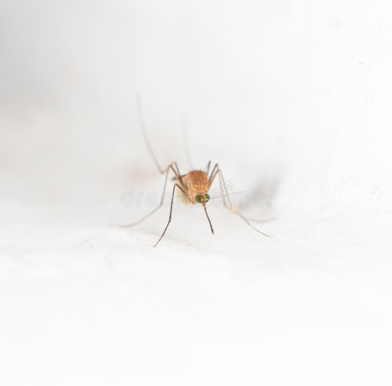Mosquito on the white wall. macro royalty free stock images