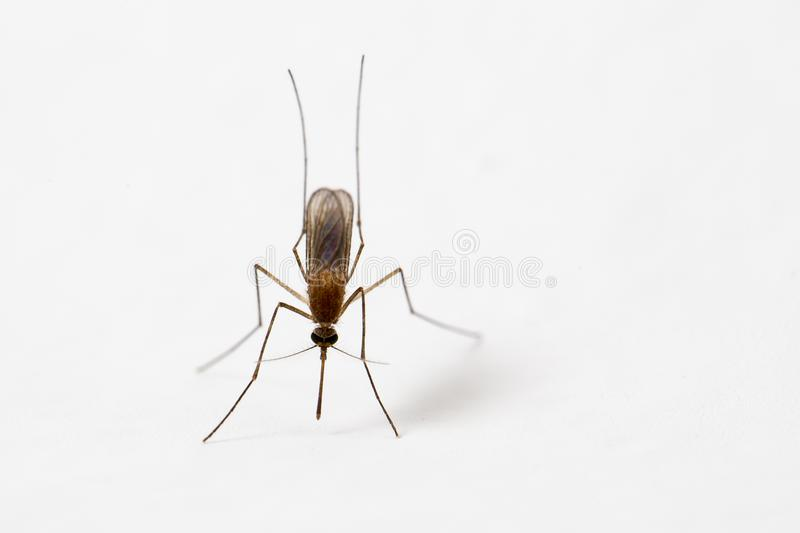 Mosquito on white wall stock photos