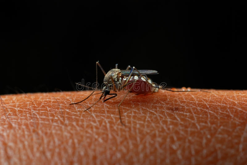 Mosquitoes stock photography