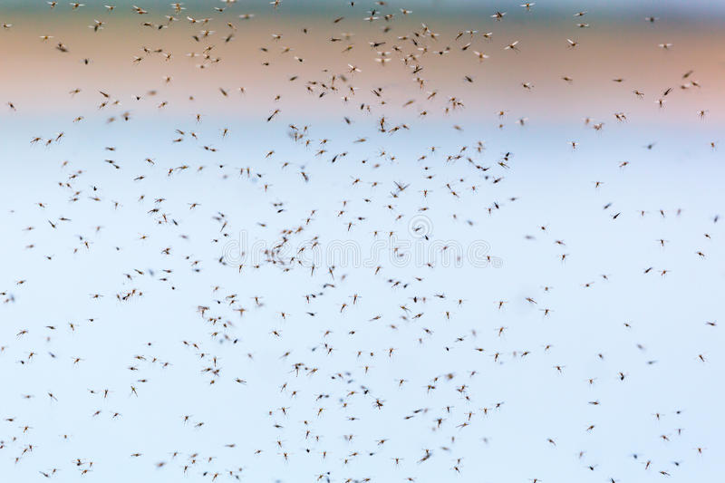 Mosquitoes swarming royalty free stock photo
