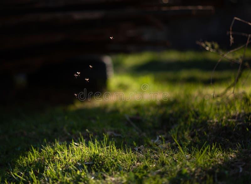 Mosquitos que vuelan en la hierba en el sol imagenes de archivo