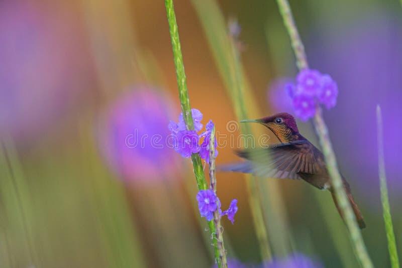 Mosquitus rouge de Chrysolampis de topaze planant à côté de la fleur violette, oiseau en vol, le Trinidad-et-Tobago caribean photographie stock