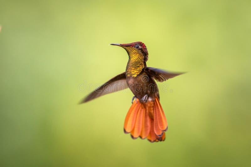Mosquitus rouge de Chrysolampis de topaze, planant dans le ciel, jardin, forêt tropicale caribean, Trinidad-et-Tobago photographie stock libre de droits