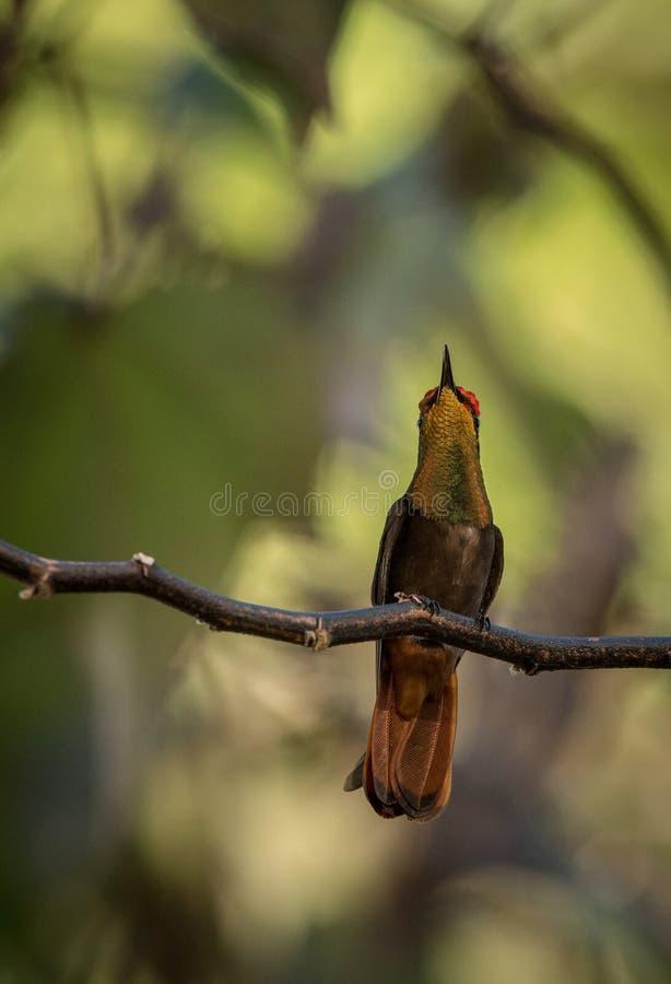 Mosquitus rouge de Chrysolampis de topaze se reposant sur la branche, oiseau de forêt tropicale caribean, Trinidad-et-Tobago images stock