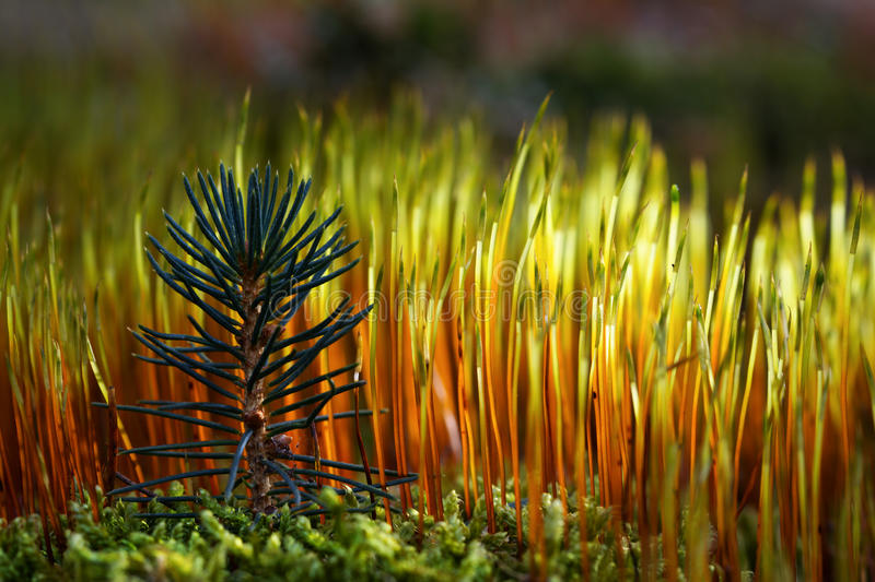 Download Moss stock photo. Image of scotch, conifer, solitude - 19221026
