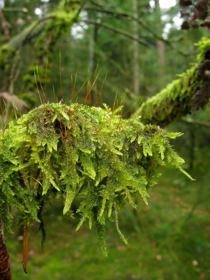 moss zdjęcie stock