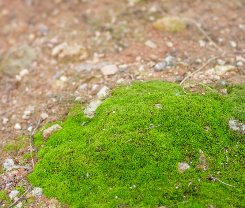 Download The moss. stock photo. Image of green, bryopsida, freshness - 28727376