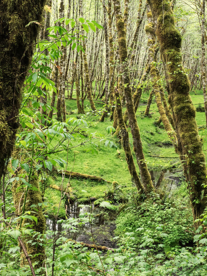 Moss on alder trees in the rainforest. Moss grows on the alder trees in the rain forest of Olympic National Park, Washington royalty free stock photography