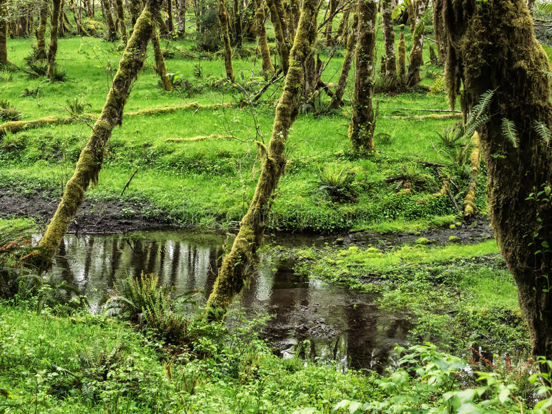 Moss on alder trees in the rainforest. Moss grows on the alder trees in the rain forest of Olympic National Park, Washington stock image