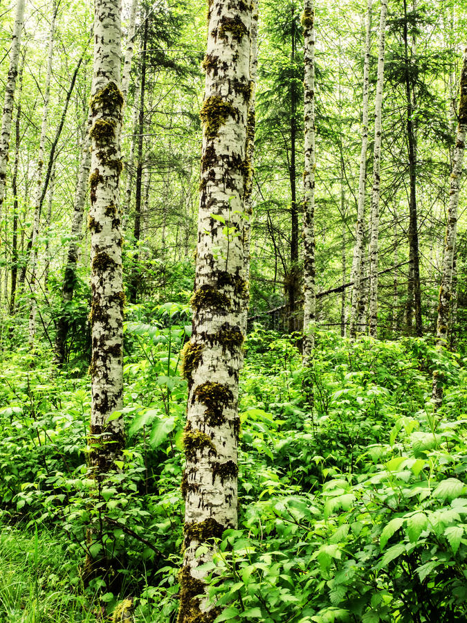 Moss on alder trees in the rainforest. Moss grows on the alder trees in the rain forest of Olympic National Park, Washington royalty free stock photo