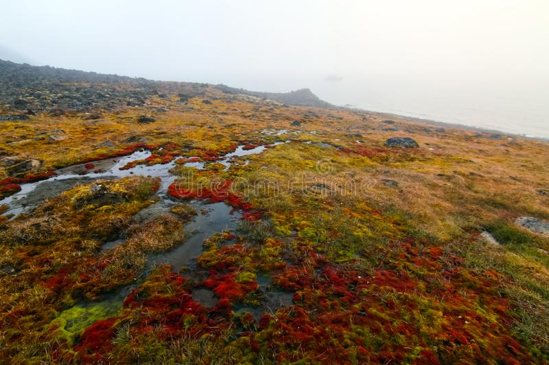 Moss in the arctic tundra royalty free stock photography