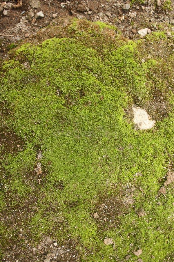 Moss Background Texture lizenzfreies stockfoto