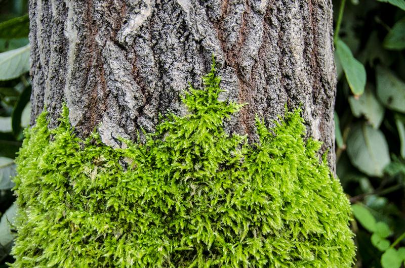 Moss on bark of tree. Close up of green moss growing on bark of old growth tree in forest stock images