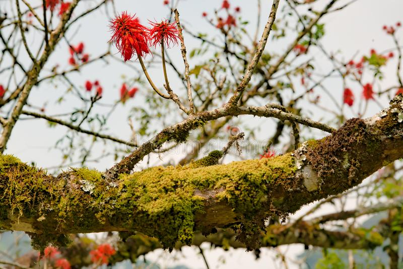 Blazing red blooms flowering on tree in Mountain Rainforest of Uganda stock photos