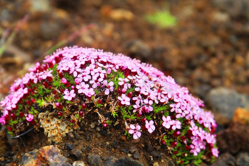 Moss Campion, Islande photos libres de droits